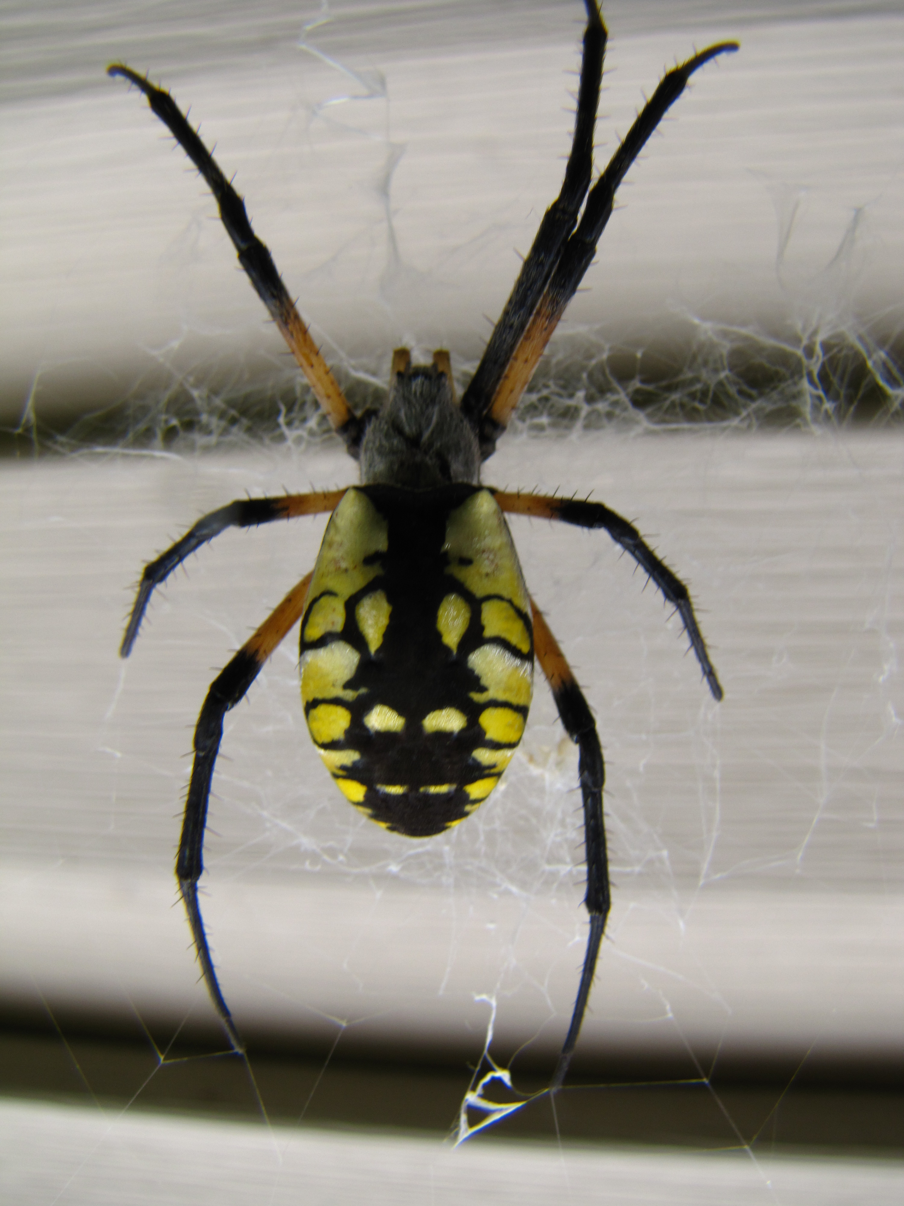 Araneidae Orb Weaver (submitted photo)